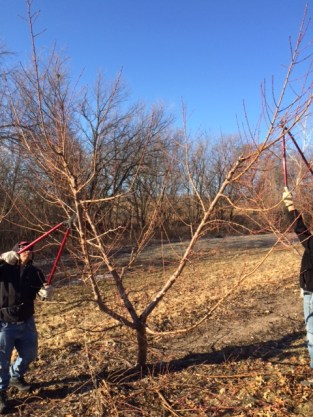Cleaning up the downward growth and pruning the fruiting wood.
