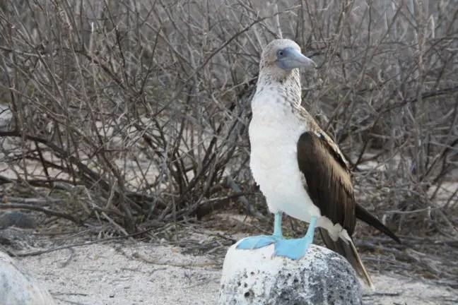 Blue footed boobie op de Galapagos eilanden