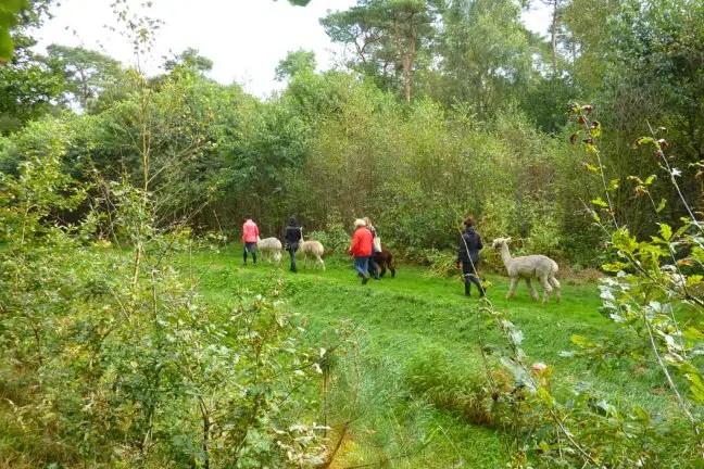 Wandelen met alpaca's van AlpacaOord
