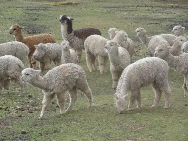Alpaca's bij Rainbow Mountain