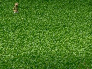 Een boer aan het werk op zijn tabaksplantage.