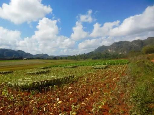 Tabaksplantage waar de jonge bladeren te drogen hangen.