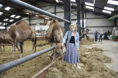 In de stal met de kamelen
