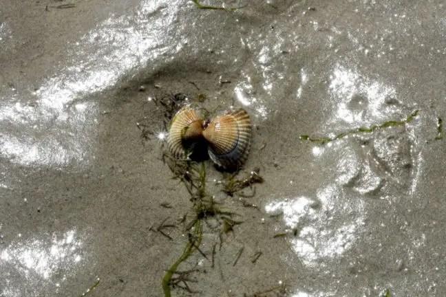 Je hoeft niet per se diep te graven om schelpen te vinden