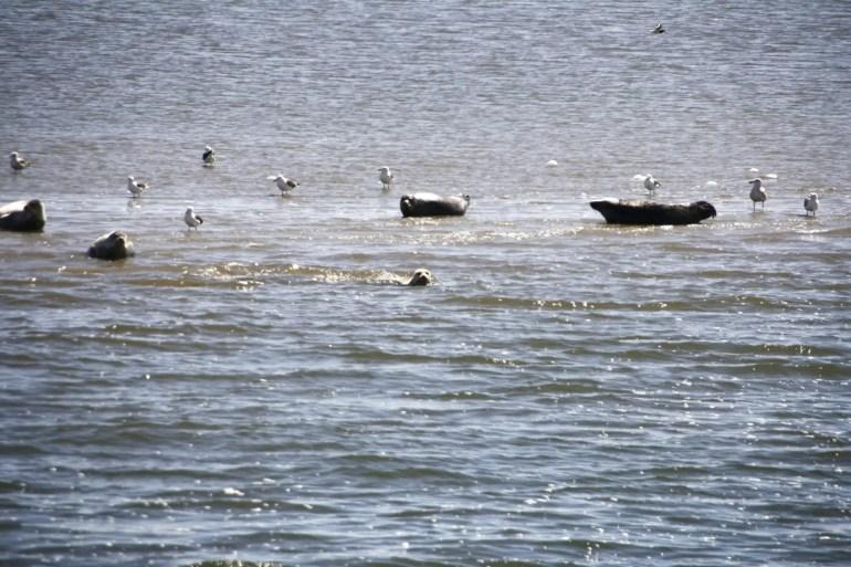Zeehonden op een zandplaat bij Texel