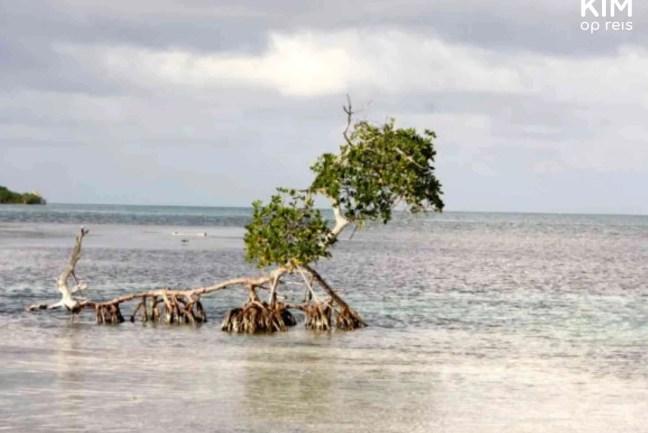 Boom in de zee waarvan de wortels onder en boven water zitten.