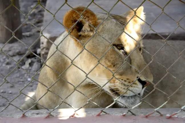 Leeuw in de dierentuin van Tizimín