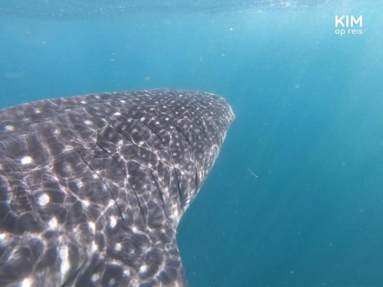 Isla Holbox walvishaai: close-up van walvishaai onder water