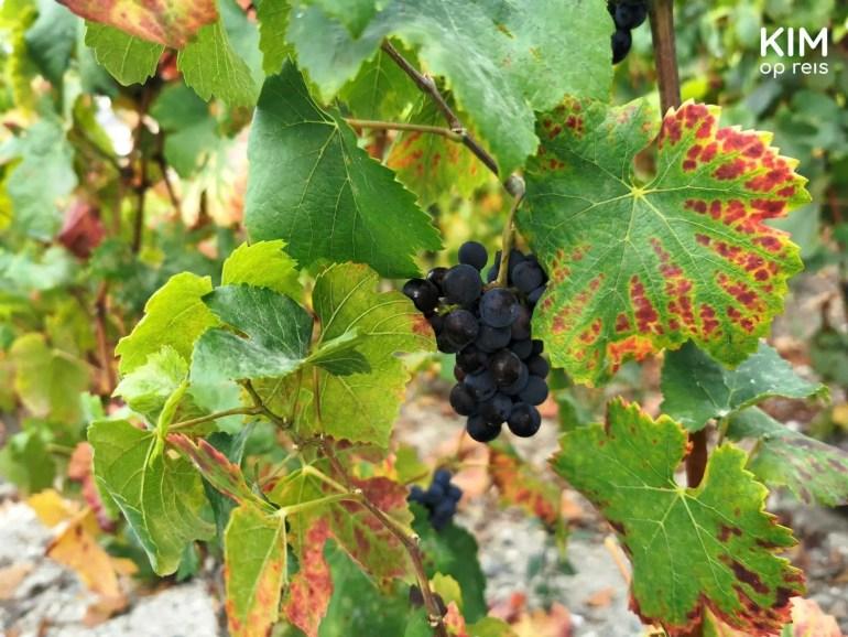 champagne druiven: detail van een bosje blauwe druiven aan een wijnrank