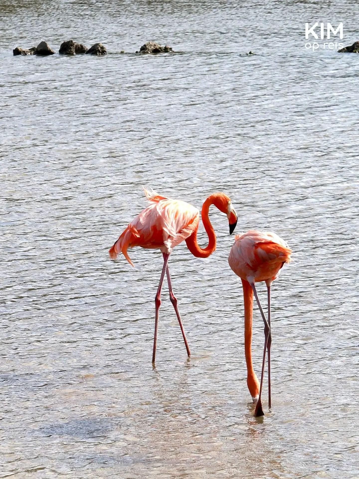 Flamingo's Curaçao: twee roze flamingo's