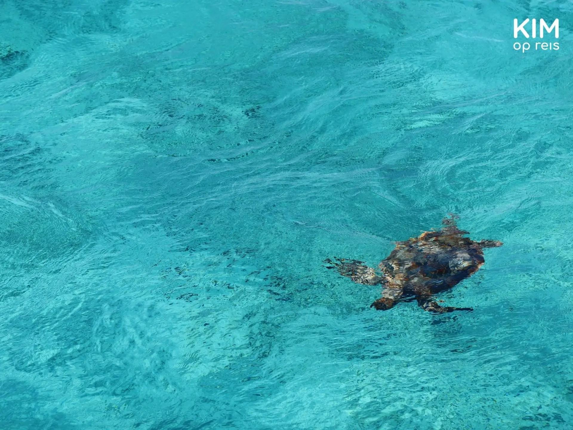 schildpad in zee Klein Curaçao