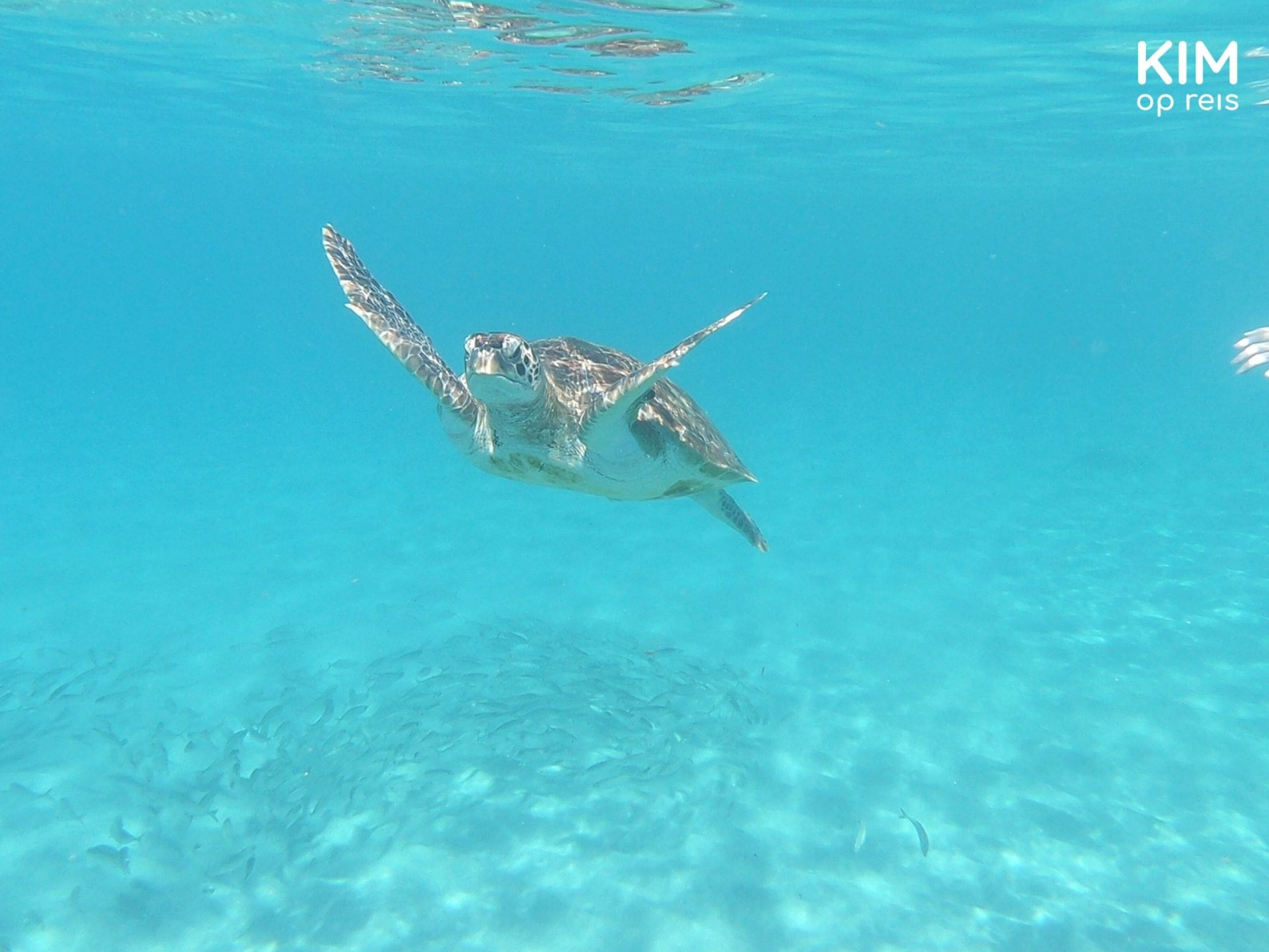 zwemmen schildpadden Curaçao: schildpad zwemt over een school vissen