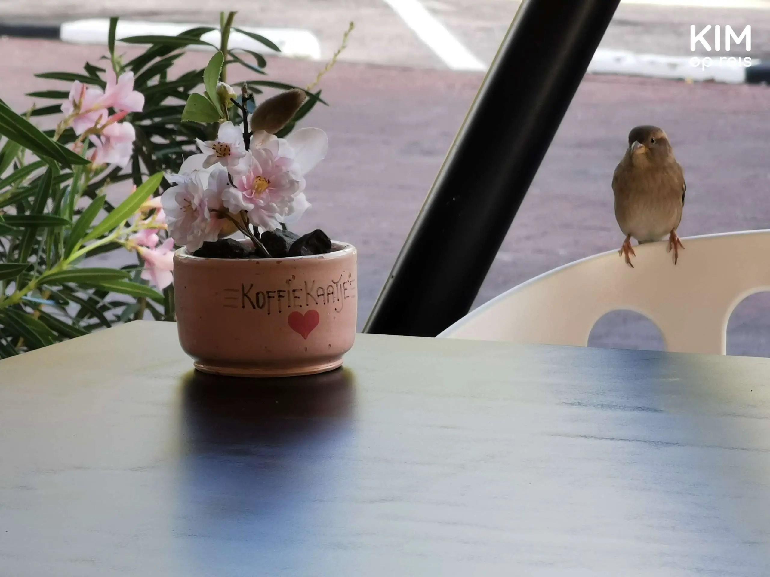 Koffie Kaatje Curaçao: klein plantje op een tafel met op het bloempotje 'Koffie Kaatje' en op de achtergrond een musje