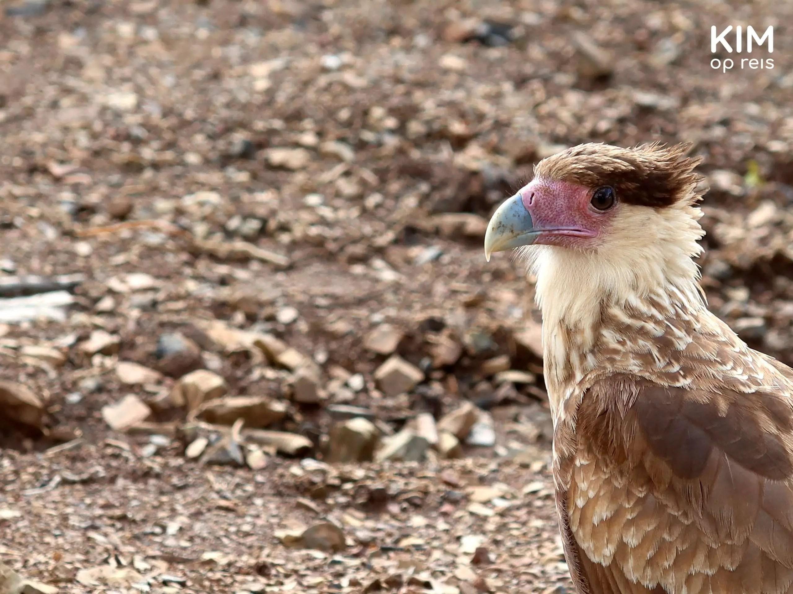 Bird of prey at parking lot Christoffelberg Curaçao