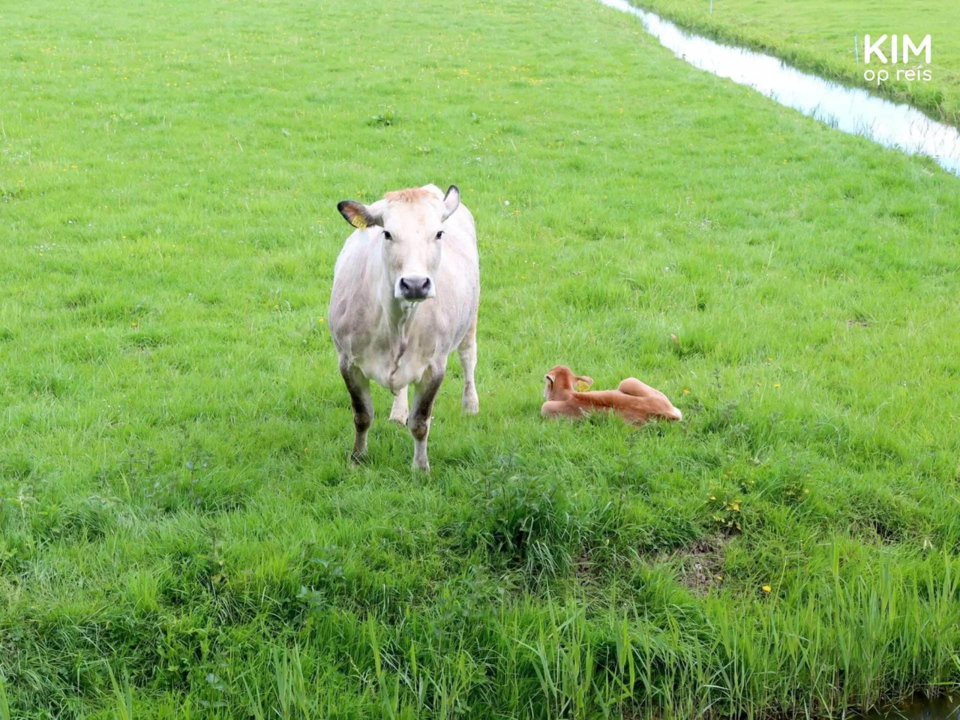 Stelling van Amsterdam walking Cow with calf