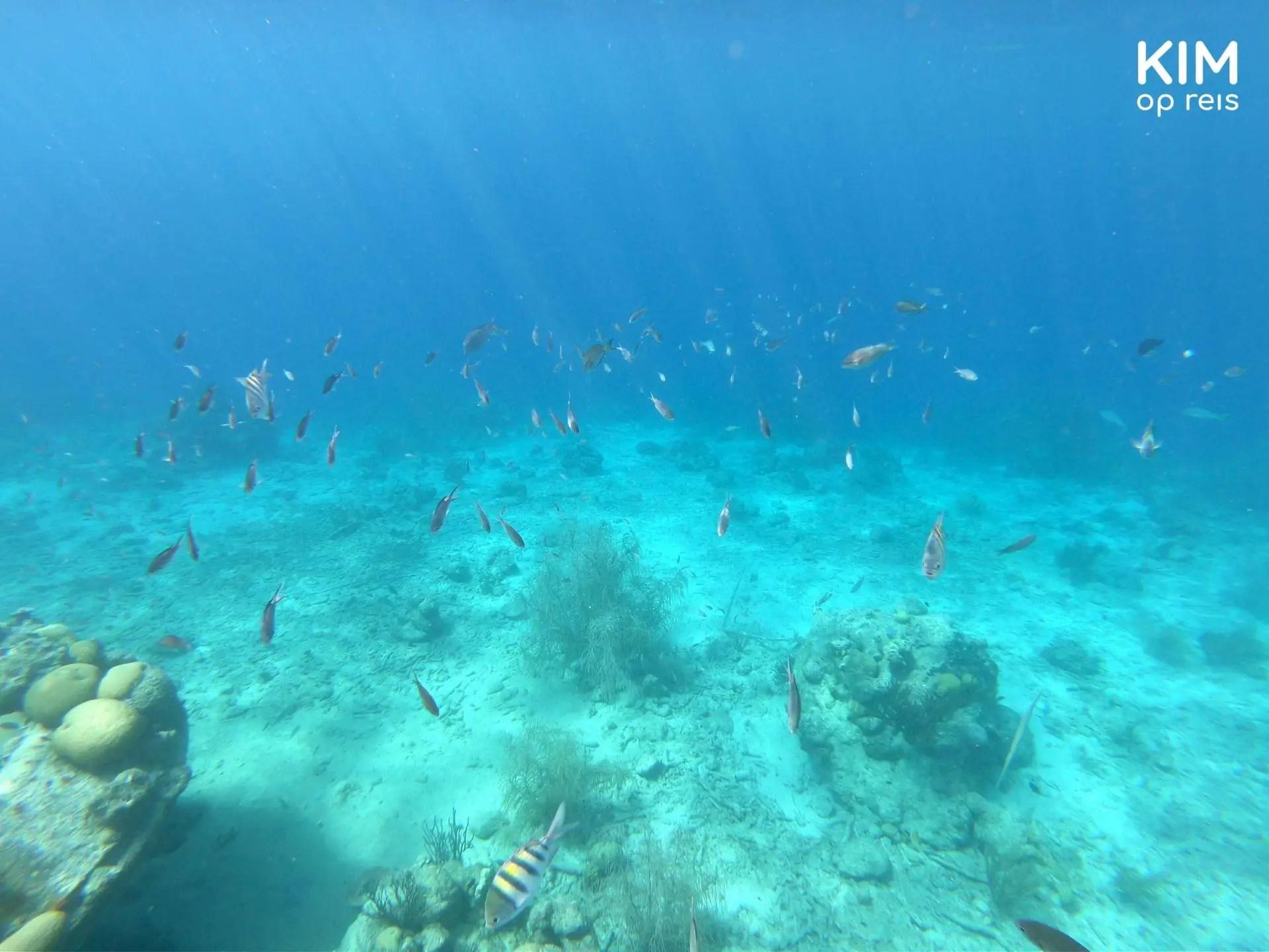 Vissen Curaçao Tugboat Beach: honderden visjes rondom de gezonken sleepboot