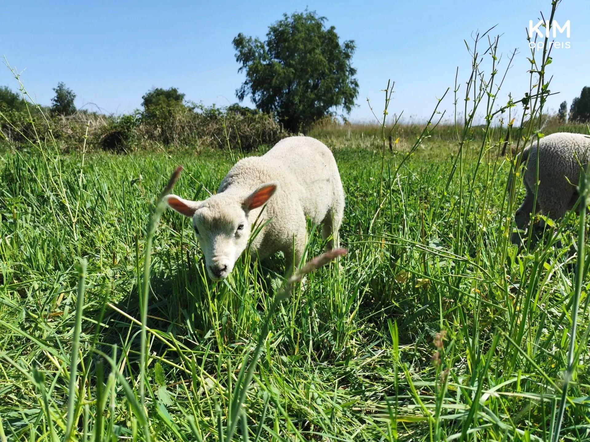 Hike around Amsterdam Haarlem Veerplas lamb