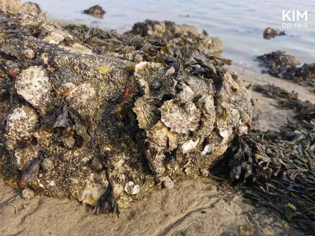 Oesters zoeken Zeeland: oesters zitten vast op een stuk steen