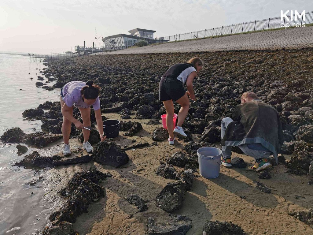 Oyster picking Zeeland St Annastrand: three people are looking for oysters on the waterline