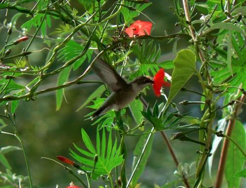 Ruby-throated Hummingbird and Cardinal Climber, Cypress Vine Ipomoea x multifida