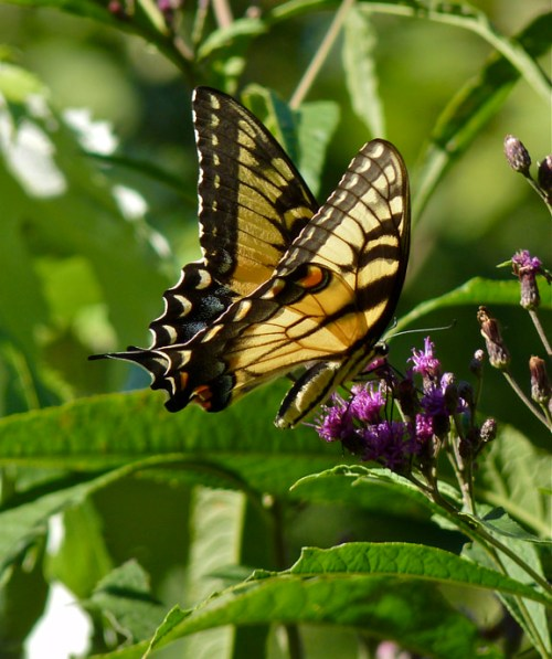 Tiger Swallowtail at Ironweed