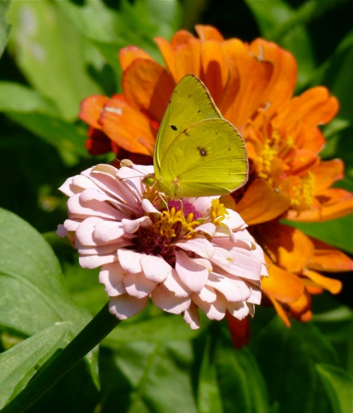 Yellow Sulphur Butterfly Zinnia elegans