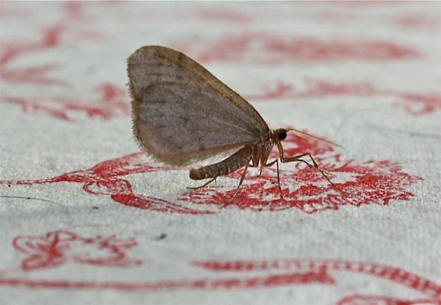 Winter Moth (Operophtera brumata)