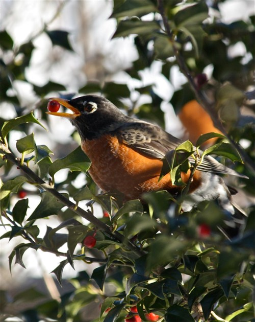 American Robin (Turdus migratorius) ©Kim Smith 2010