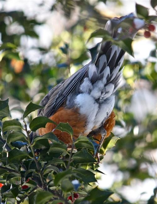 American Robin (Turdus migratorius) tailfeathers