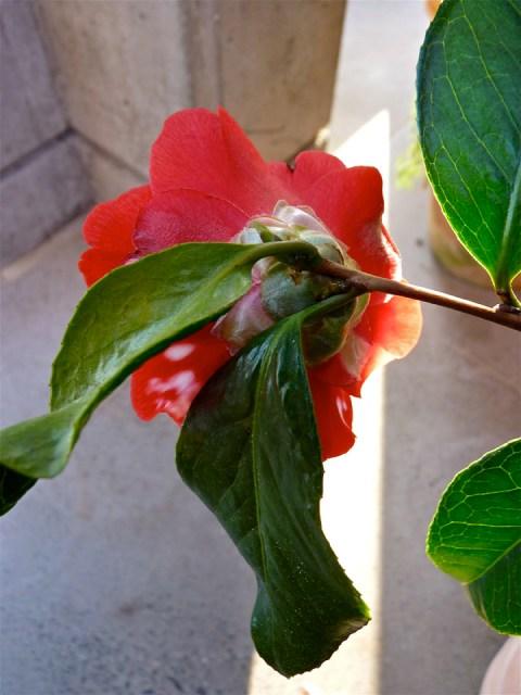 Camellia japonica 'Masayoshii'