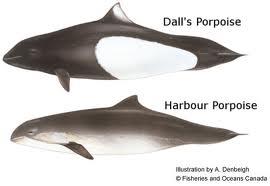 Harbor Porpoise (Phocoena phocoena