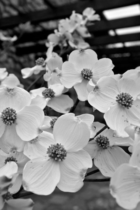 Cornus florida bw Fujifilm x100
