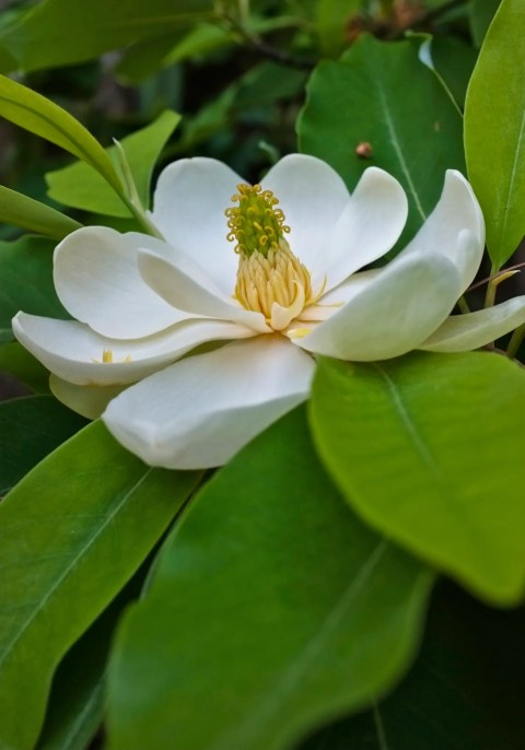Sweetbay Magnolia virginiana Gloucester Massachusetts