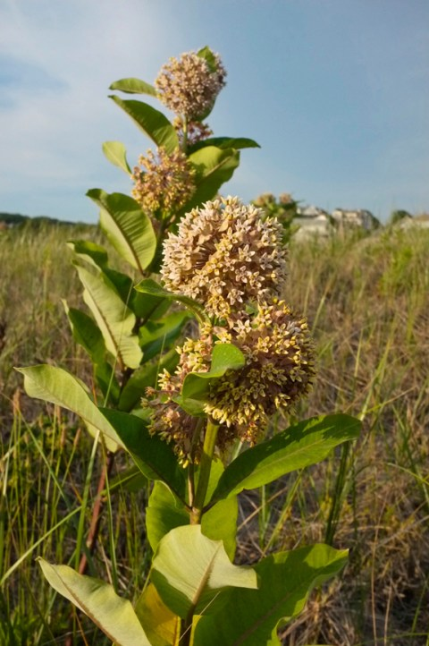 ommon Milkweed Asclepias syriaca Good Harbor Beach Gloucester