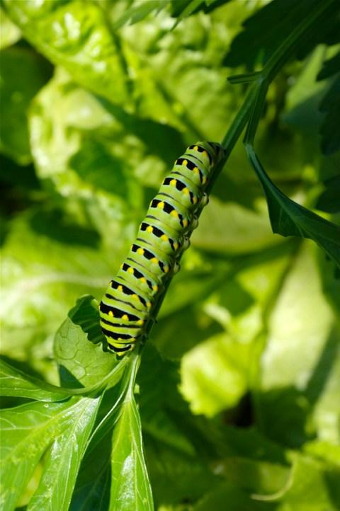 Eastern Black Swallowtail Butterfly caterpillar