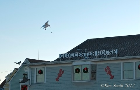 Gloucester Seagull  ©Kim Smith 2013-3.