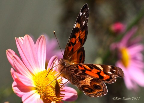 American Lady Butterfly Korean Daisy gKim Smith 2013