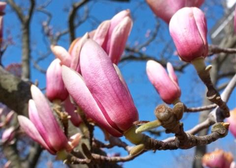 Magnolia 'Alexandrina' ©Kim Smith 2012