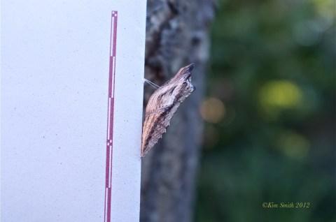 Black Swallowtail Chrysalis Brown form-1