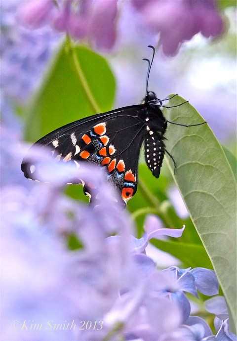 Male Black Swallowtail Butterfly Wedgewood Blue Lilac ©Kim Smith 2013