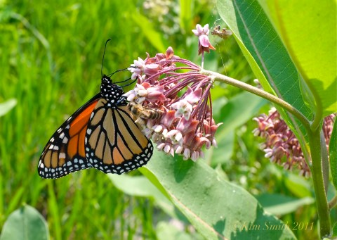 Monarch Butterfly milkweed Good harbor Beach ©Kim Smith 2011
