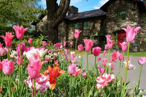 Spring Tulips ©Kim Smith 2013 -1