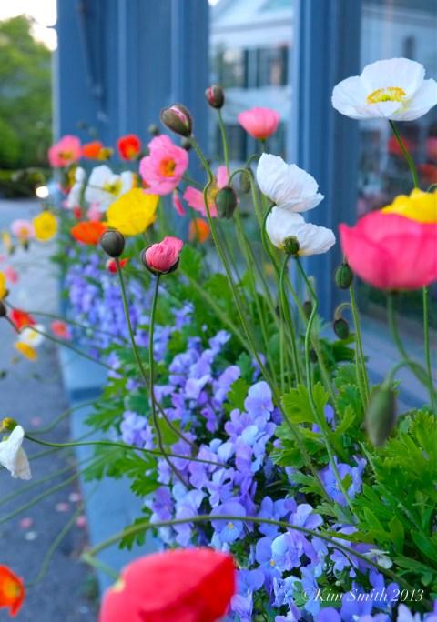 Iceland Poppies ©Kim Smith 2013 copy