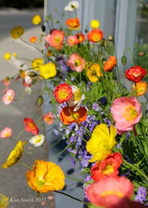Iceland Poppies sunny day ©Kim Smith 2013 copy