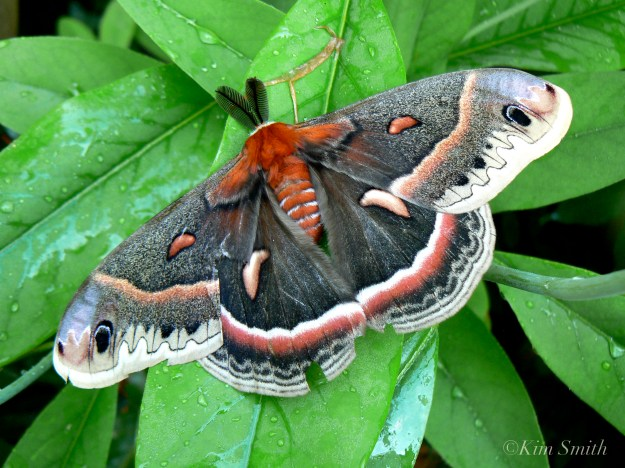 Cecropia Moth male Magnolia virginiana ©Kim Smith