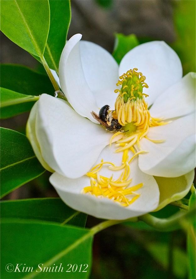 Gloucester HarborWalk Magnolia virginiana ©Kim Smith 2012 copy