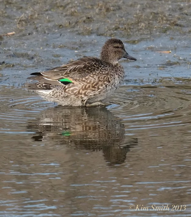 Female Green-winged Teal ©Kim Smith 2013