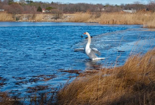 Mute Swan taking flight ©Kim Smith 2014