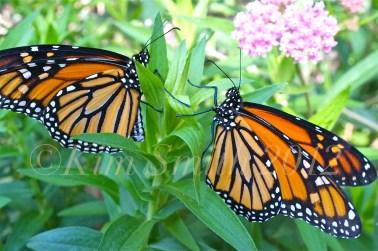 Male Female Monarch Butterfly Marsh Milkweed STOCK©Kim Smith 2012