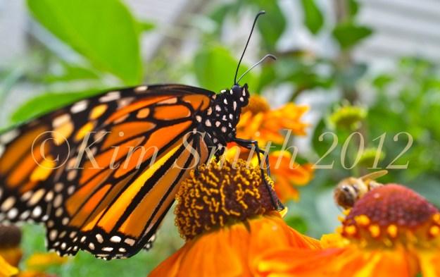 Monarch Butterfly Close-up Wildflower Hellenium --2 ©Kim Smith 2012.J